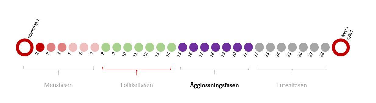 menscykel 30 dagar när ägglossning